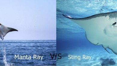 Difference Between Manta-Ray and Stingray